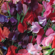 Sweet Pea - Knee Hi - Dwarf Type - 50 seeds